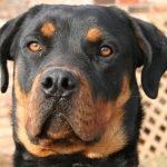 pravilnik o opasnim psima